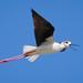 Cigüeñuela común (Himantopus himantopus) / Black-winged stilt