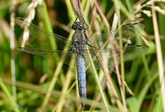 Black-tailed Skimmer (Orthetrum cancellatum) male - Photo of Saires-la-Verrerie