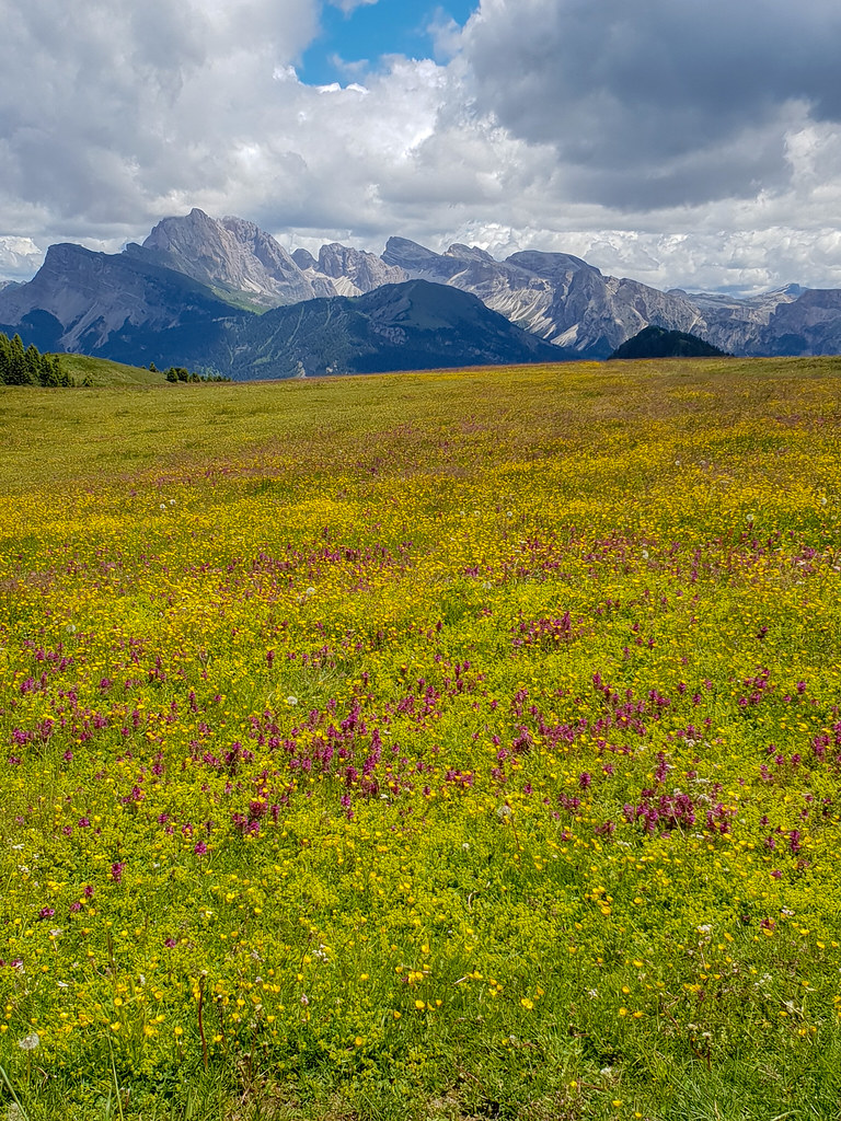 Alpine meadow - Rhinanthus angustifolius and Pedicularis verticillata