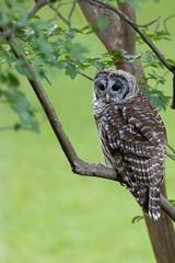 Barred Owl - juvenile (Strix varia)