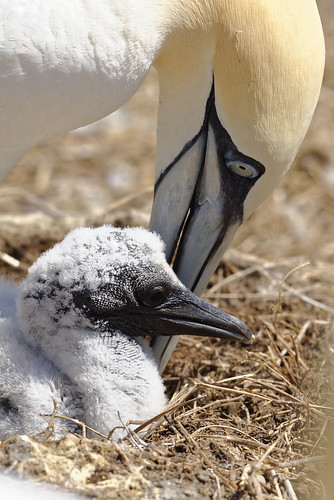 Gannet and hatchling