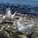 Tern Preston Docks F00266 D210bob  DSC_4912