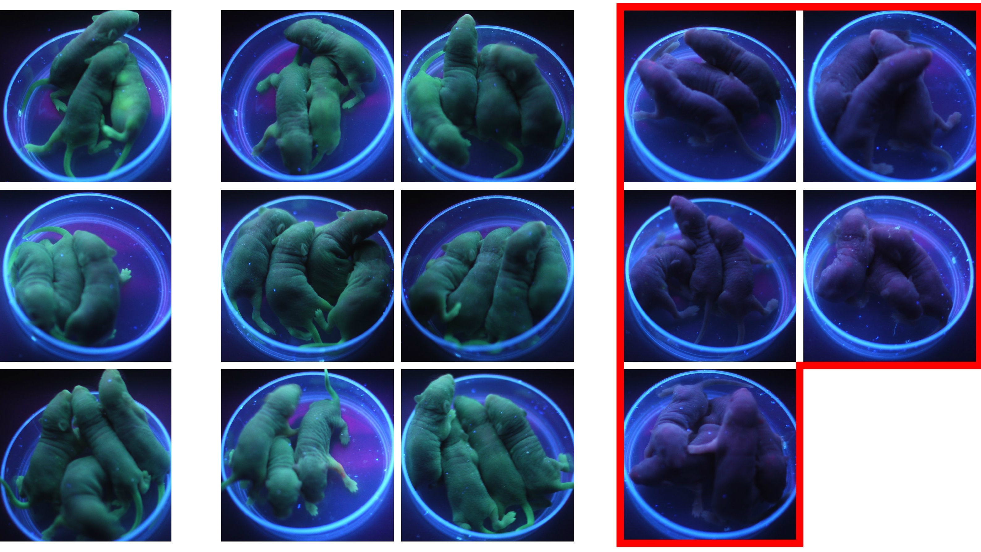 Gene edited mice
