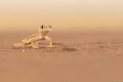 Gecko del desierto