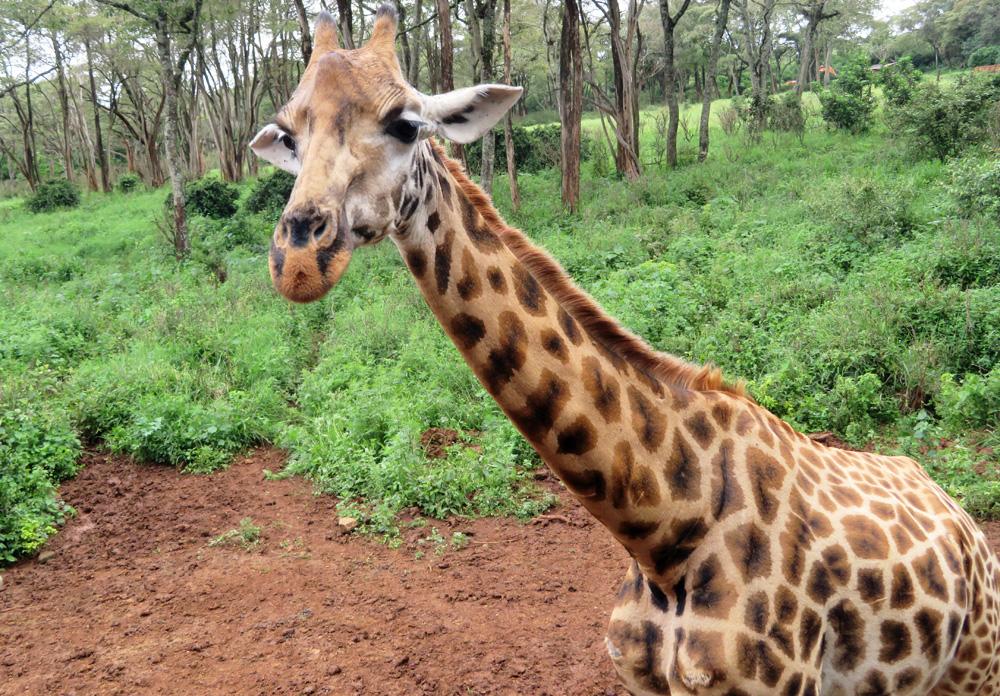 rothschild-giraffe-close