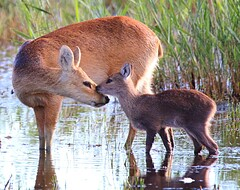 Chinese water deer tending one of its two fawn's