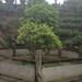 le tout premier théier Jingning Bai
