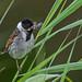 Reed Bunting, Emberiza schoeniclus