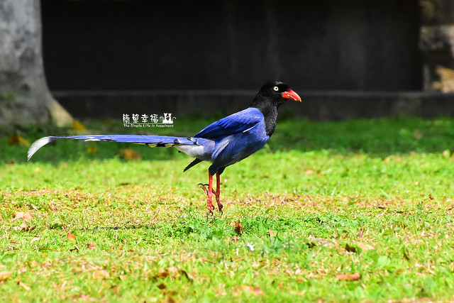 20180429 藍鵲 (142), Nikon D5500, AF Nikkor 20mm f/2.8