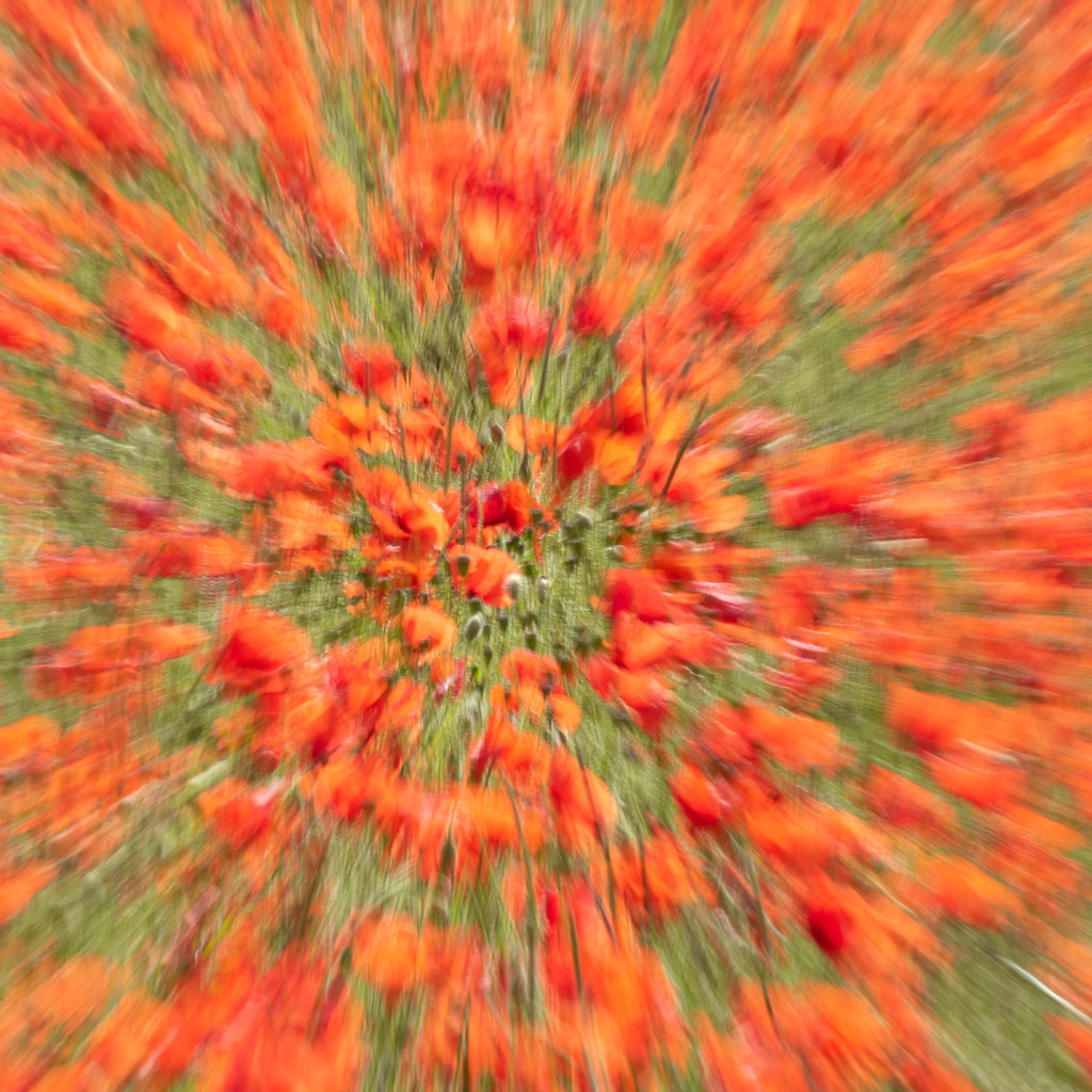 An explosion of poppies