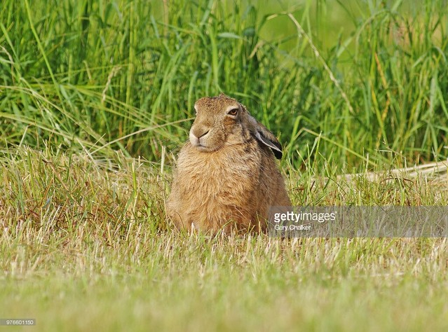 Hare, soaking up the early morning sun.