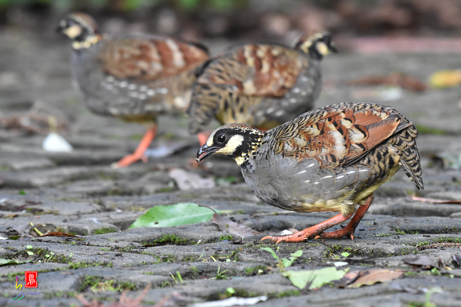 Taiwan_Hill_Partridge_5246