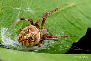 Orb weaver spider (Neoscona sp.) - DSC_5861