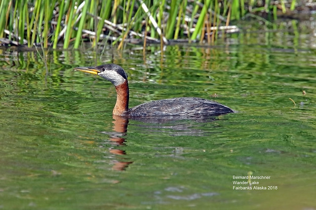 red necked grebe_4H4A9984