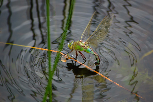 Southern hawker dragonfly ovipositing, Baggeridge Country Park