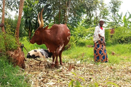 Maize Stover – the stalks, leaves and cobs left behind after a harvest – is popular cattle feed in Kenya. But it is hard to digest, resulting in low milk yields for already struggling dairy farmers.