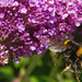Homing in on Buddleia