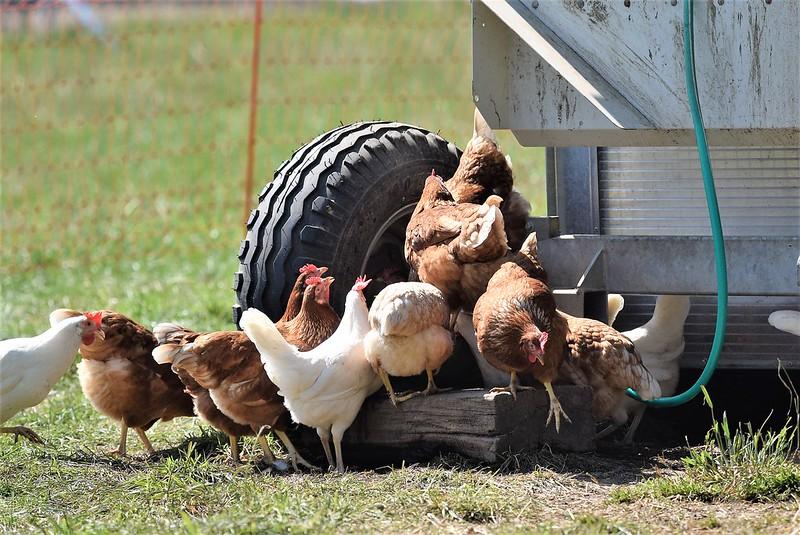Chickens 13.07.2018