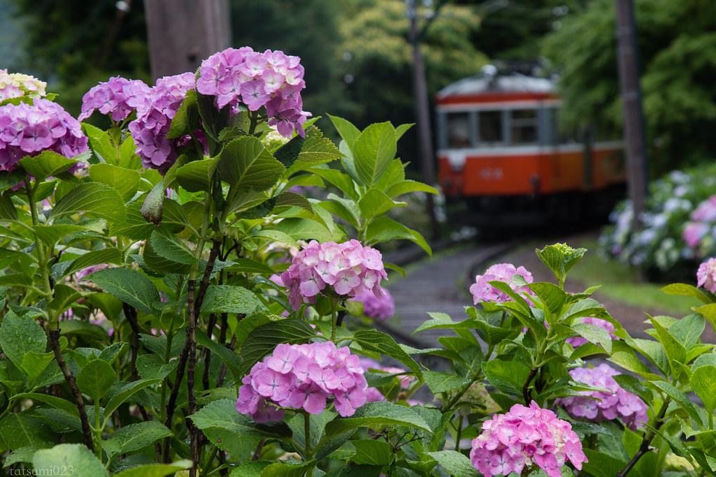2018-06-15 箱根登山鉄道と紫陽花 003-2