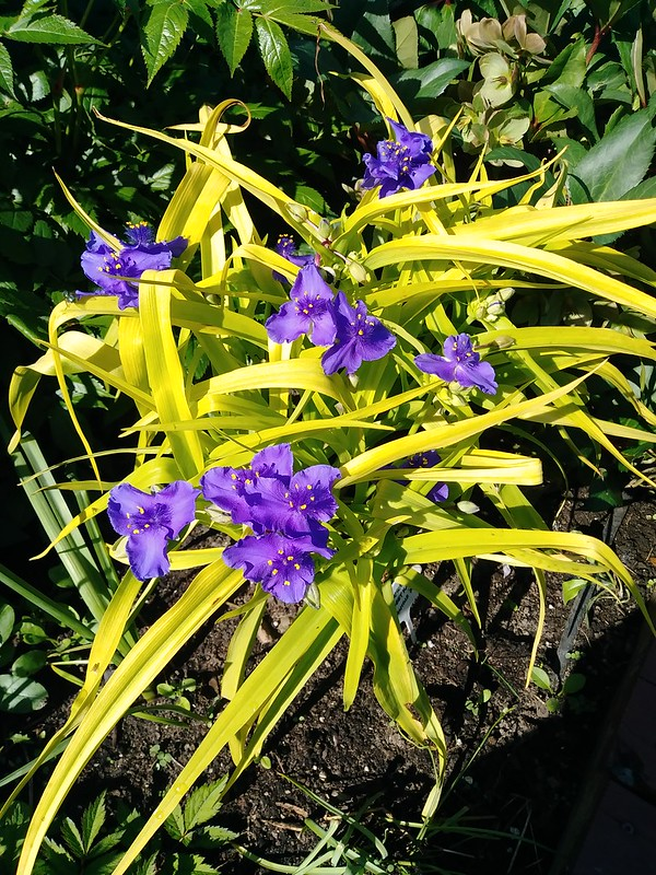 Le jardin de Lavandula 2018 - Page 9 41109143490_e50ec2db20_c