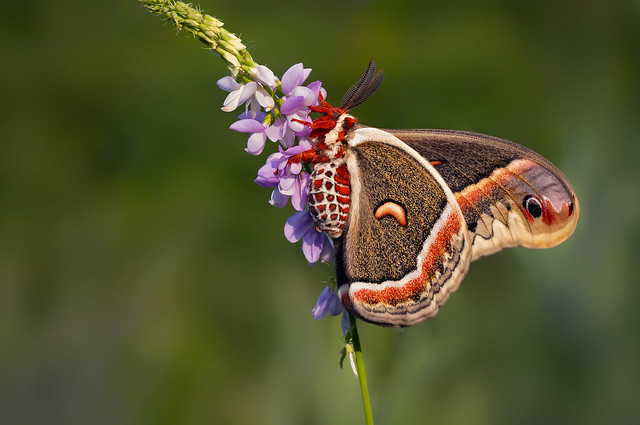 Silk Moth - Hyalophora cecropia