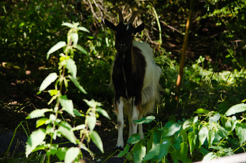 Goat, Baggeridge Country Park
