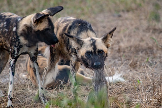 African Wild Dogs (Lycaon pictus) - DSC_5469