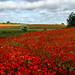 Poppy Fields 2 by handsofblue39