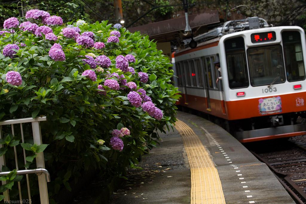 2018-06-15 箱根登山鉄道と紫陽花 003