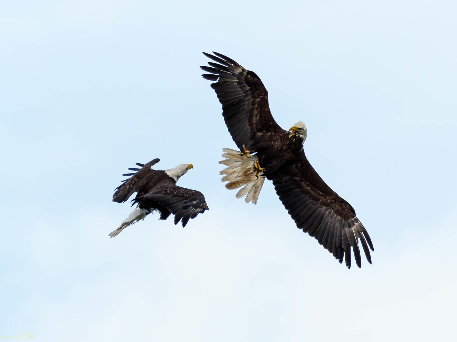 Bald Eagle Dance.jpg