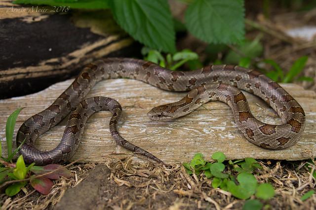 Prairie King Snake. Northwest Louisiana, June 2018