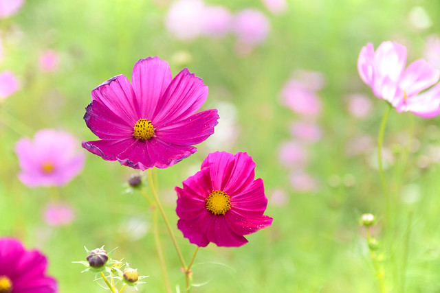 Photo:Cosmos Flowers By 雷太
