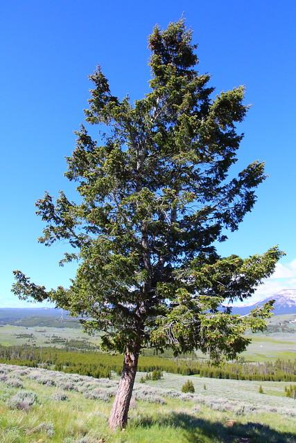 IMG_0569 Douglas-Fir on Bunsen Peak Trail