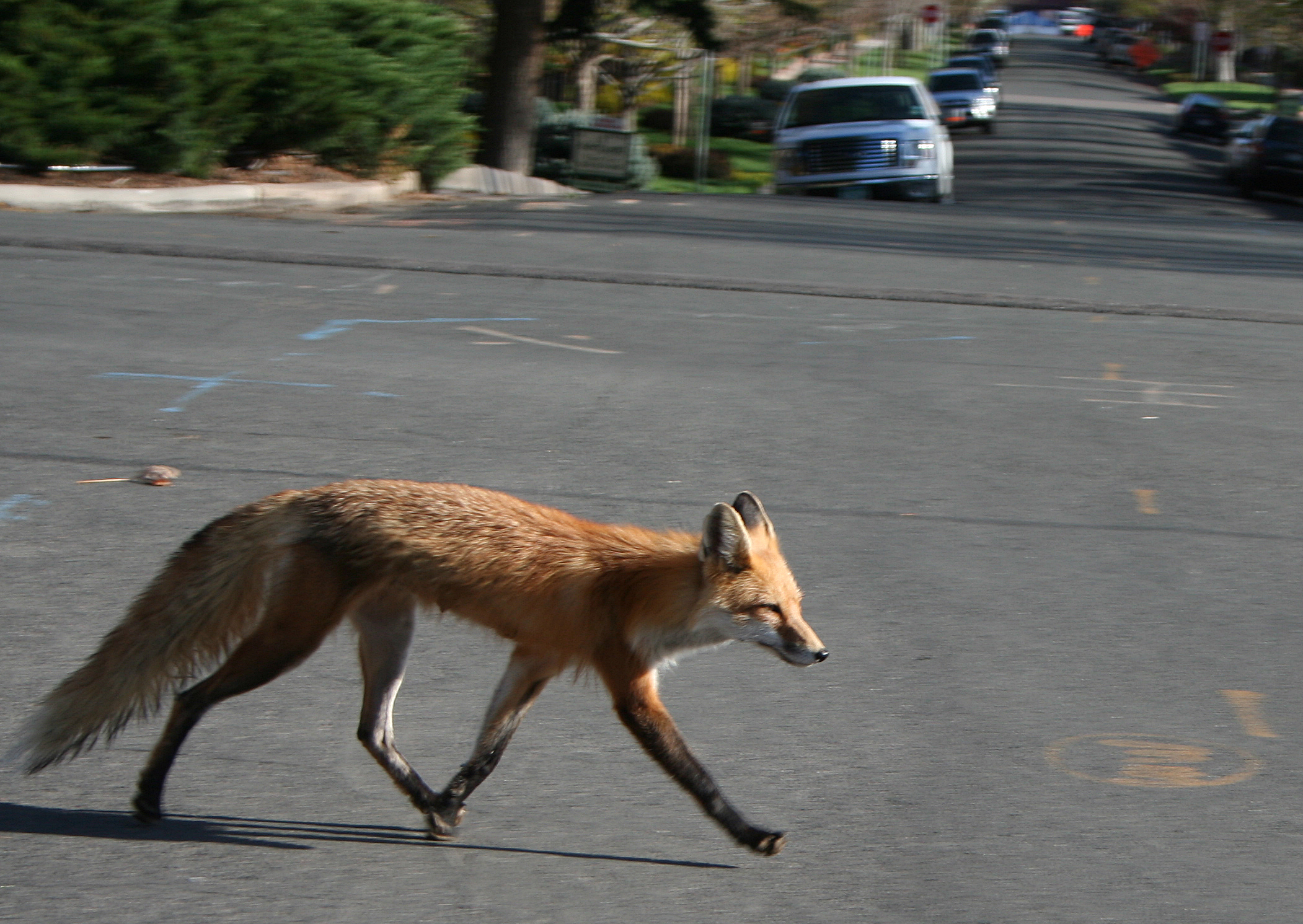 A Red fox crossing a street in Portugal. Photo taken on April 24, 2010.
