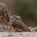Burrowing owls by Wendy E. Miller