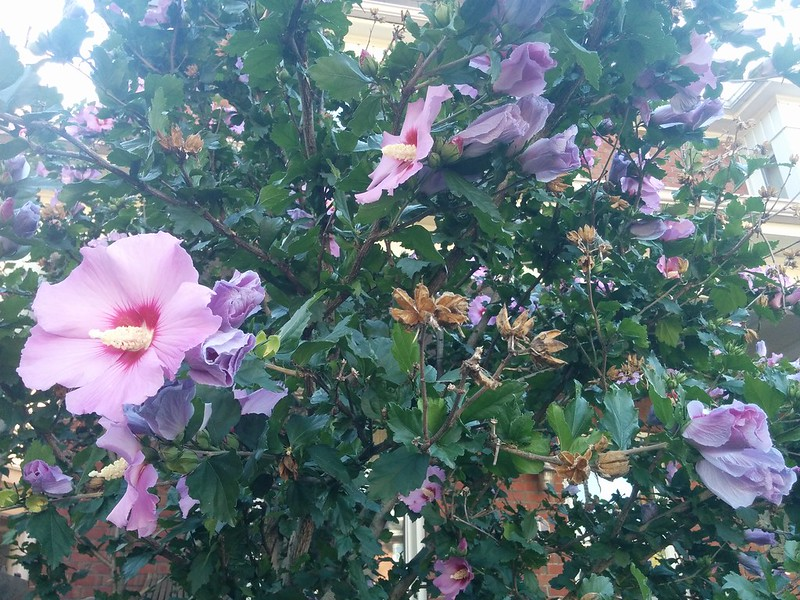 Rose of sharon flowers on the tree #toronto #highparknorth #flowers #pink #purple #flowers #roseofsharon #pacificave