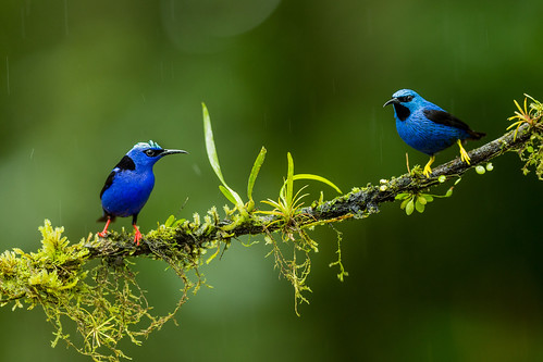 Red-legged Honeycreeper ♂ and Shining honeycreeper ♂