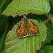 Female Large Skipper --- Ochlodes sylvanus