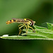 Hoverfly ---- Sphaerophoria scripta - male