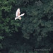 Barn Owl - Woods Mill (145)