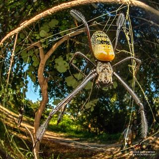 Golden orb weaver (Trichonephila cf. fenestrata) - DSC_2419