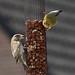 Mannetje en vrouwtje groenling op feeder