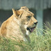 Lion mlem