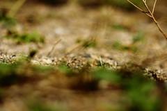 Une tête qui dépasse - Oedipoda caerulescens - Photo of Pouilly-sur-Loire