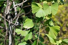 Ginkgo biloba (Ginkgoaceae)