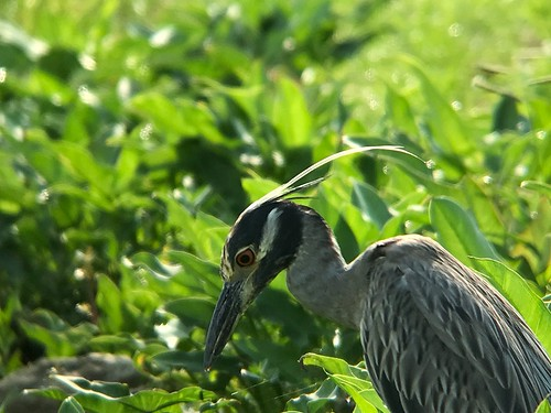 Yellow-crowned Night-Heron - Alabama