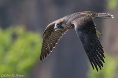 Peregrine Falcon Fledgling In Flight 作者 Mitch Vanbeekum Photography