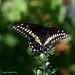 Papillon du céleri  ♂ / Black Swallowtail