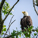 Perching Bald Eagle