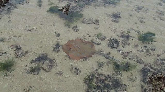 Blue-spotted fantail ray (Taeniura lymma)